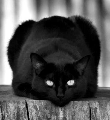 Superbe chat noir